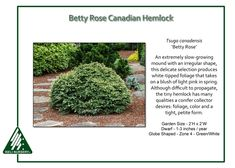 Betty Rose Canadian Hemlock An extremely slow-growing, mound with an irregular shape,Tsuga canadensis 'Betty Rose' produces white-tipped foliage that takes on a blush of light pink in spring.
