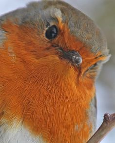 A robin in winter, so cute!