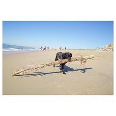 He was working so hard #dog #beach