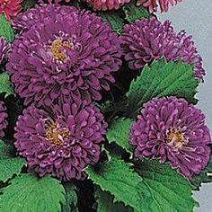 Pot 'n Patio Blue aster seeds - Garden Seeds - Annual Flower Seeds