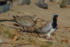 Namaqua Dove - Oena capensis © by Jacek Nalepa