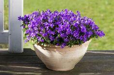 A csüngő harangvirág régi kedvencünk. Már jóval azelőtt közkedvelt volt, hogy a szobanövények divatba jöttek volna. A tartósan virágzó ámpolnanövények közül ma is az egyik leghálásabb.