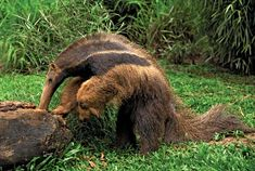 Giant anteater at the Sao Paulo Zoo in Brazil - endangered species Animals Amazing, Animals Beautiful, Giant Anteater, Welcome To The Jungle, Amazon Rainforest, Mundo Animal, Animal Logo, Endangered Species, Brown Bear