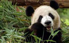 Výsledek obrázku pro panda