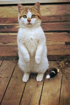 Beautiful Cat :) on hind legs I Love Cats, Crazy Cats, Cool Cats, Baby Animals, Funny Animals, Cute Animals, Animal Babies, Funny Cats, Beautiful Cats