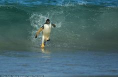 Walking on water: Photographer Shanu Subra took this picture of a Gentoo penguin with a belly full of Krill for its young ones on the shores of New Island, Falklands