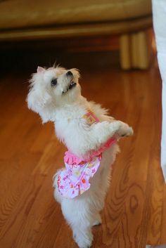 kara, puppy, maltese, dog, clothes