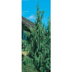 5.5 Gallon Weeping Alaskan Cedar Feature Tree (L14172) Nursery