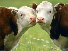 MMMMMMwaaaa  WE use to have Hereford Cows before Limousin Cattle