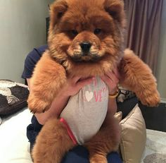 Animals And Pets Dogs Puppies Cute Funny Animals, Funny Animal Pictures, Cute Baby Animals, Animals And Pets, Perros Chow Chow, Chow Chow Dogs, Chow Dog Breed, Cute Dogs And Puppies, Pet Dogs