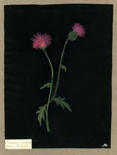 Centaurea Scabiosa, from an album (Vol.X, 15); Great Knapweed. Collage of coloured papers, with bodycolour and watercolour, on black ink background - by Mary DeLaney, 1782