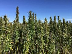 Russia To Reintroduce Hemp For Technical Textiles  The share of natural fabrics and materials in the Russian textiles industry is steadily declining in favour of their synthetics,… [Read More]  #IndustrialHempNews