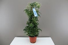 Lovely Jasmine gift plant - Pillar shaped - flowers on it . Climbing plant ideal for hiding walls and fences - Great for screening - Star Jasmine (Yasmin) - Jasminum polyanthum - Perfect for Mothers days and Birthdays - Beautiful and fragrant garden p Patio Plants, Garden Plants, Indoor Plants, Indoor Gardening, Plant Delivery, Garden Gifts, Plant Hanger, Jasmine, Climbing