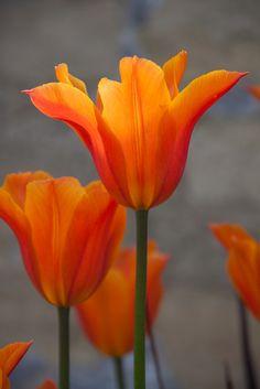 EWG 4.5.14.-10 tulip ballerina at Easton Walled Gardens