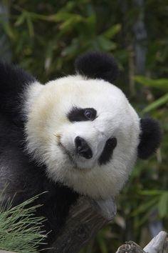 Panda bear Bai Yun