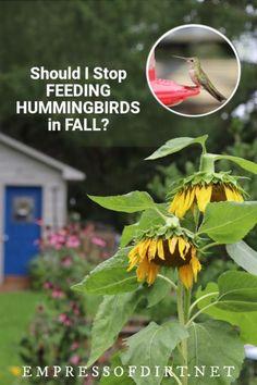 Do hummingbird feeders delay fall migration? The short answer is no. Come see why. #hummingbirds #birdfeeders #empressofdirt