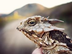This is a Coast Horned Lizard
