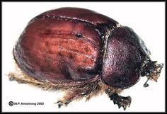 Fat flightless female rain beetle (Pleocoma sp.) San Diego, California.