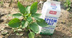Epsom salt can really be a gardener's best friend. These ways of using Epsom salt are so useful!