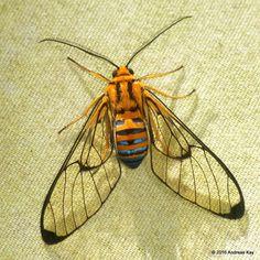 https://flic.kr/p/MdQoPW | Wasp moth, Gymnelia sp.? | from Ecuador…