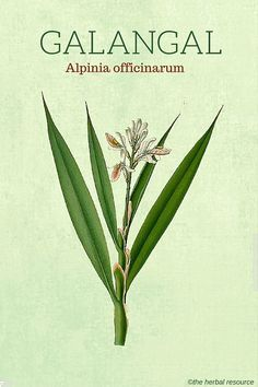 Galangal (Alpinia officinarum) - Health Benefits and Side Effects