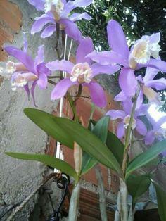 Orquídea - Covanca RJ