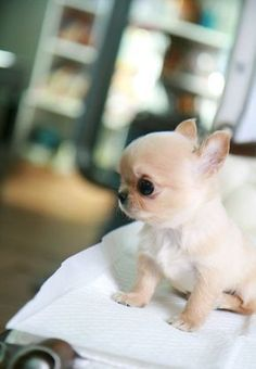 Teacup Chihuahua Puppy #dogsfunnychihuahua