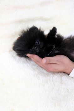 Source by gloriasclark The post Cute black teacup Pomeranian. appeared first on Dogs and Diana.