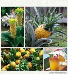 Superfoods are foods with a rich nutritional profile and/or extraordinary medicinal benefits. Pineapple is a tropical plant and is actually a multiple fruit, consisting of coalesced berries. One pineapple is made up of dozens of individual flowerets that grow together to form the entire fruit.