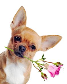 chihuahua valentine's GIF   Chihuahua Dog With Rose Isolated On White Background ...
