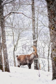 Stambecco nel bosco ---------- 📸 Federico Milesi Foto #fotodelgiorno 12 dicembre 2020 #myvalsusa 1808 Snow, Outdoor, Art, Outdoors, Outdoor Games, The Great Outdoors, Eyes, Let It Snow