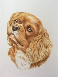 Cavalier King Charles Spaniel. Faber Castell Polychromos pencils on Bristol Board. Painted by Tracy Brock.