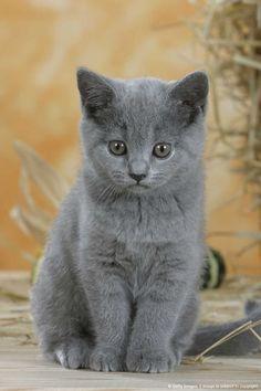 Image Detail for - British Shorthair Cat, kitten, blue