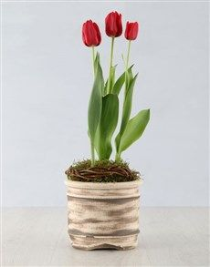 plants: Red Tulip Plant in Ceramic Pot! Pink Happy Birthday, Happy Birthday Candles, Heart Balloons, Helium Balloons, 18 Candles, Planting Tulips, Perfect Plants, Red Tulips, Tears Of Joy