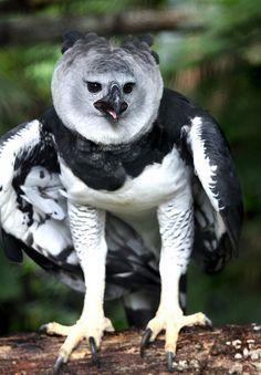 Harpy Eagle - It is the largest and most powerful eagle in the world.