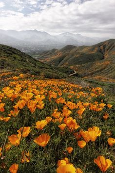 An early start to the Superbloom. A… An early start to the Superbloom. A… An early start to the Superbloom. A<br> An early start to the Superbloom. A field of poppies in Southern California [OC] Landscape Edging, Abstract Landscape, Landscape Paintings, Acrylic Paintings, Landscape Fabric, Landscape Lens, Landscape Rocks, Landscape Timbers, Garden Edging