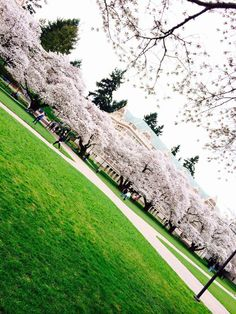 UW Cherry Blossoms | Spring 2014 (Photo by Sumaiya Ahmed)