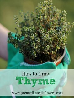 How To Urban Garden How to Grow Thyme, including how to plant thyme seedlings, how to plant thyme seedlings in pots, how to care for thyme seedlings, and how to harvest thyme. Growing Herbs, Growing Vegetables, Plantas Indoor, Thyme Plant, Hydroponic Gardening, Herb Gardening, Herbs Garden, Hydroponic Growing, Urban Gardening