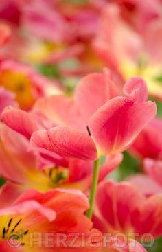 """Tulipa """"Colour Mistic"""""""