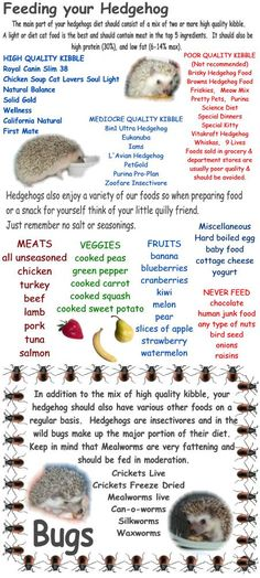 Hedgehog Care - more than just a list of food... best site!