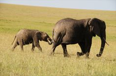 Lot of baby Elephants this month in Masai Mara!  www.sunworld-safari.com