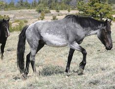 Wild Mustangs - Interesting color on this horse. Looks like a blue roan sabino maybe?