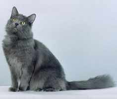 Nebelung grey kitty with a beautiful coat