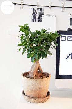 ficus microcarpa ginseng ikea in croydon branch london uk kasvit pinterest. Black Bedroom Furniture Sets. Home Design Ideas