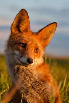 Ridiculously Photogenic Fox.