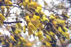 New Zealand Native (Sophora) Kowhai Bloom in Spring New Zealand's Native Kowhai Tree in Bloom in Springtime. Kōwhai are small woody legume trees within the genus Sophora that are native to New Zealand. T Abstract Stock Photo Photo Composition, Spring Photos, Abstract Images, Feature Film, Photo Illustration, Image Now, Woody, Spring Time, Royalty Free Images
