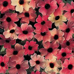 BLUSHING SUSIE Black-Eyed Susan Vine Seeds  A trailing or twining, heavy-blooming 4-5 foot vine with 1.5 inch flowers in unique shades of red, apricot, peach, pink, salmon and ivory all with dark burgundy eyes. The individual blooms change color as they age, providing a range of colors on a single vine. 10 seeds for $3. (.30 ea)