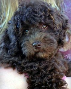 Miss Cocoapuff--Australian Labradoodle Puppy at 9 weeks