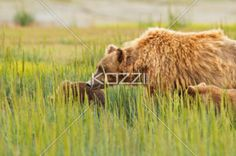 mother bear and cubs - A mother brown bear with her cubs in Denali National Park