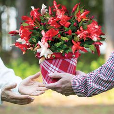 Always enormously popular, this cactus provides red and white blooms that look as sweet as candy! Christmas Cactus, Avocado Egg, Candy Cane, Red And White, Bloom, Barley Sugar, Candy Canes, Avocado Egg Boats